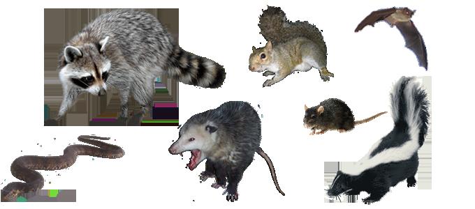 Salt Lake City Wildlife Trapping Opossum Squirrel